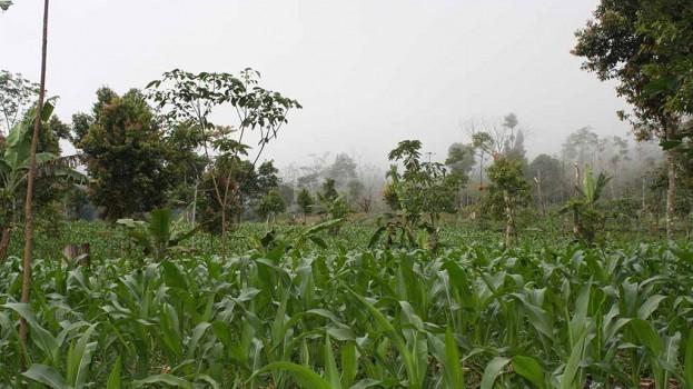 perkebunan jagung masyarakat