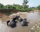 Gajah dan Mahot Bersama Amankan Hutan