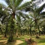 Perkebunan Sawit Rambah Hutan Lindung