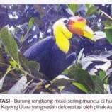 Burung Rangkong Bermunculan di Lahan Hijau