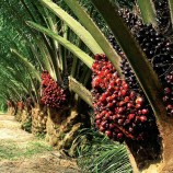 Oil Palm Plantation Moratorium Extended