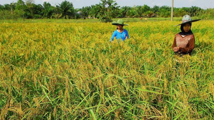 KOMPAS/IRMA TAMBUNAN Petani di Desa Pudak, Kecamatan Kumpeh Ulu, Kabupaten Muaro Jambi, Jambi, memeriksa kondisi tanaman padinya menjelang akan dipanen, Rabu (2/8). Pertanian organik dihidupkan kembali di wilayah itu sebagai solusi untuk petani bertanam tanpa bakar lahan. Kandungan hara yang biasanya diasup melalui pembakaran lahan, digantikan dengan pupuk organik.