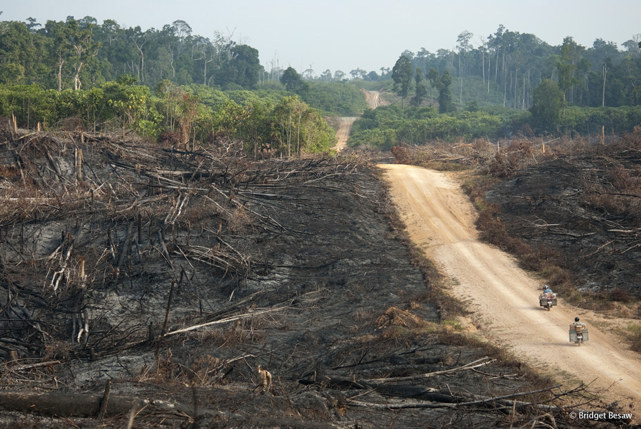 (ALL INTERNAL RIGHTS, LIMITED EXTERNAL RIGHTS) Tropical forest areas that have been deforested through a process of slash and burn to open areas for agriculture and subsitance farming in the Kalimantan region of Borneo, Indonesia.  PHOTO CREDIT: ©Bridget Besaw