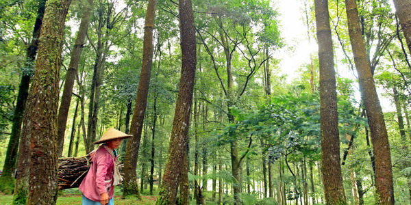 JAKARTA,21/11-HASIL HUTAN. Dua orang ibu menggotong kayu ranting yang akan digunakan sebagai kayu bakar di kawasan Bogor, kemarin. Saat ini budidaya hasil hutan terus ditingkatkan oleh Perum Perhutani, untuk kesejahteraan masyarakat luas. SINDO/HASIHOLAN SIAHAAN