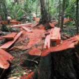 Pembalakan Liar Masih Terjadi di Hutan Register 19 Lampung