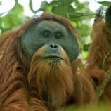 Penjelasan PLTA Batang Toru Terkait Ancaman Orangutan Tapanuli